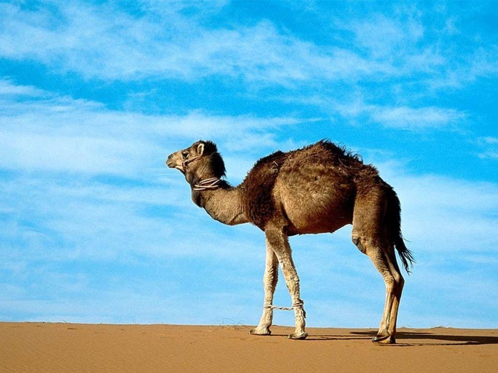 Άλμα εις… καμήλα