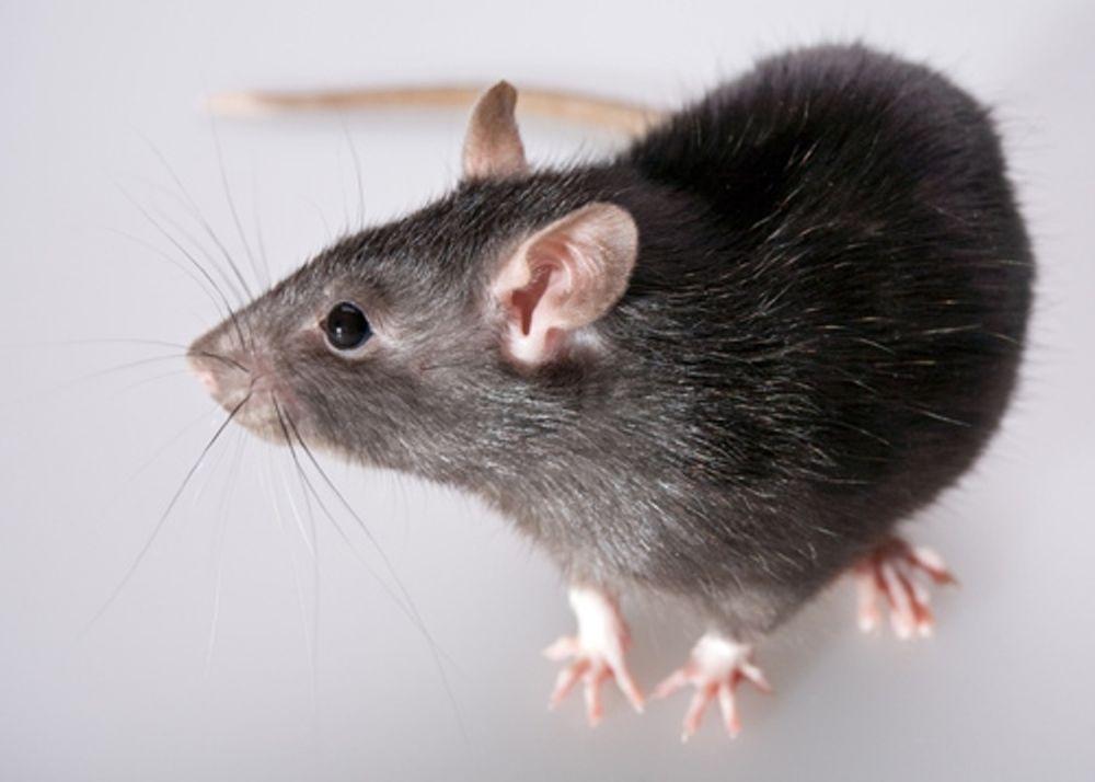 «Ποντικοί» στη Ρόδο