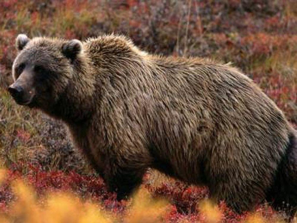 Έφαγαν αρκούδα στα Γρεβενά!