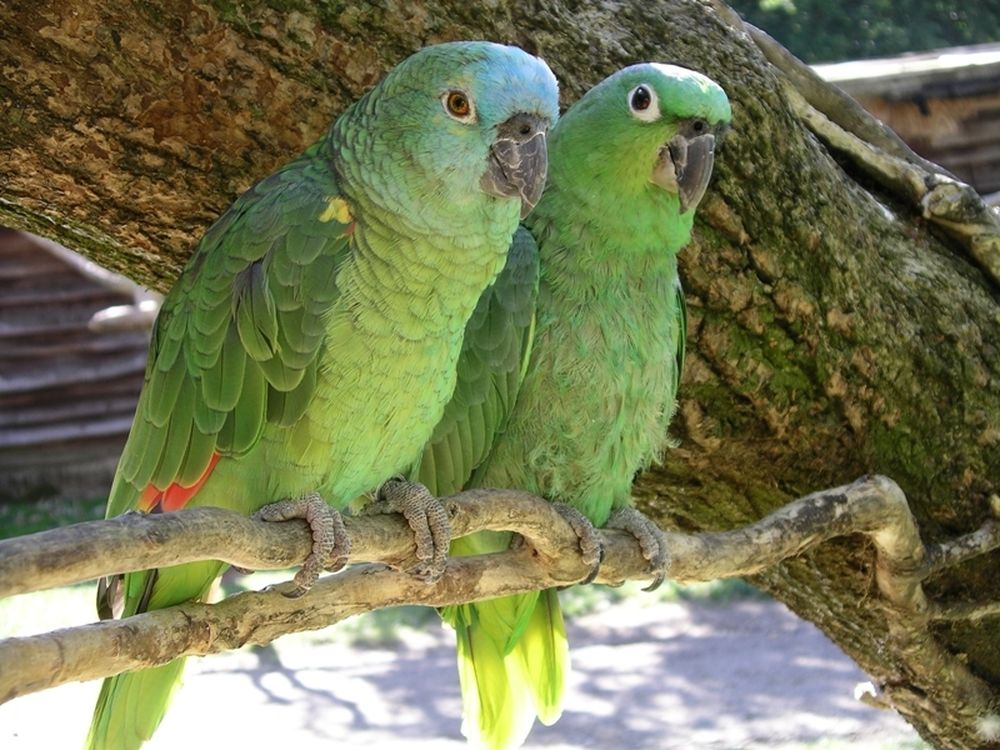 Δύο παπαγαλάκια διαδίδουν…