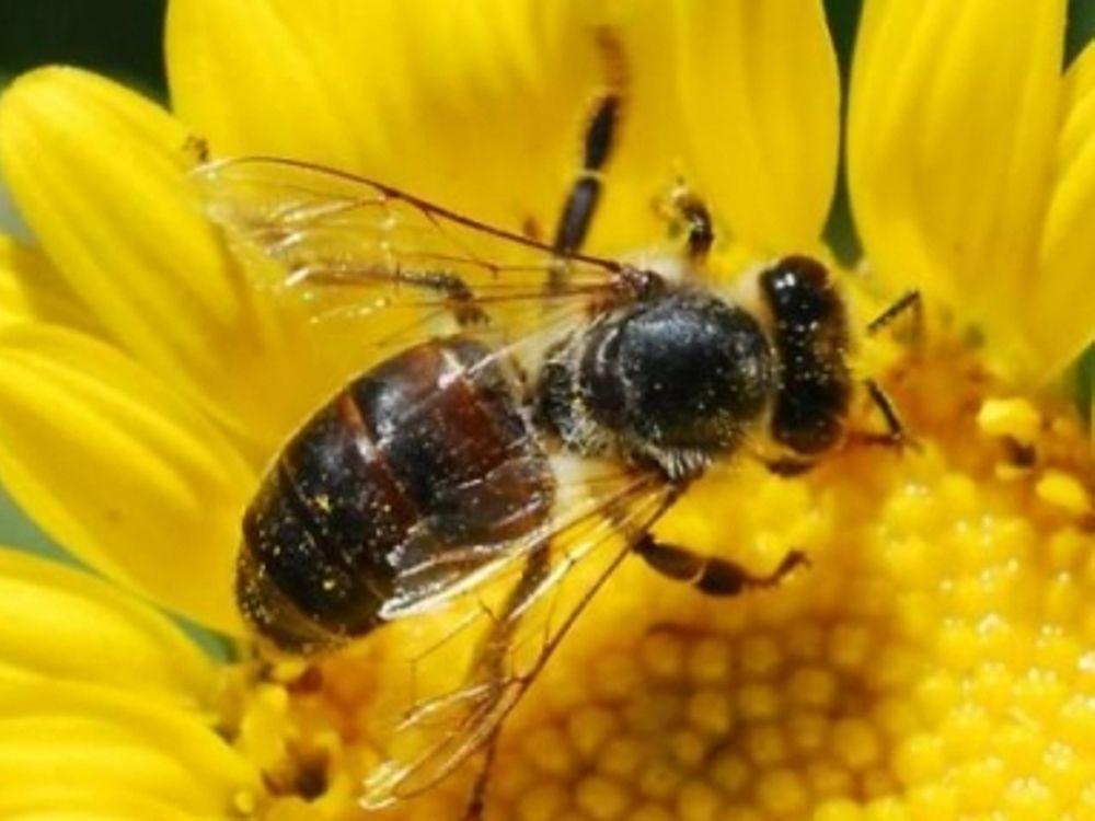 Μαζική εξαφάνιση μελισσών