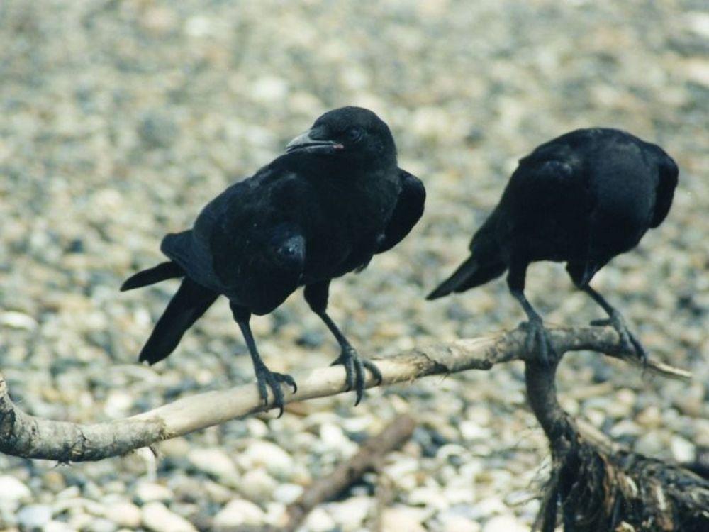 O Σισέ και τα «κοράκια»