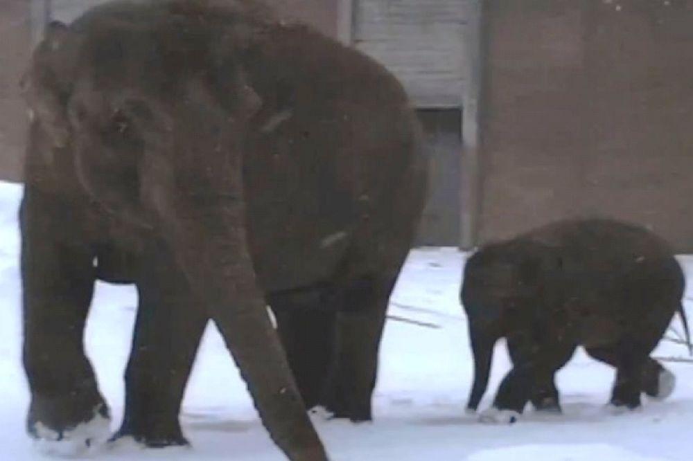 Τα βήματα του μωρού ελέφαντα στο χιόνι