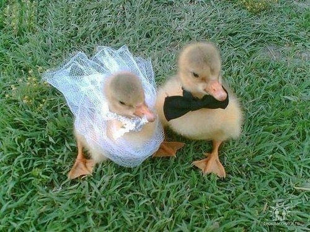 Τα παπάκια παντρεύονται (Video)