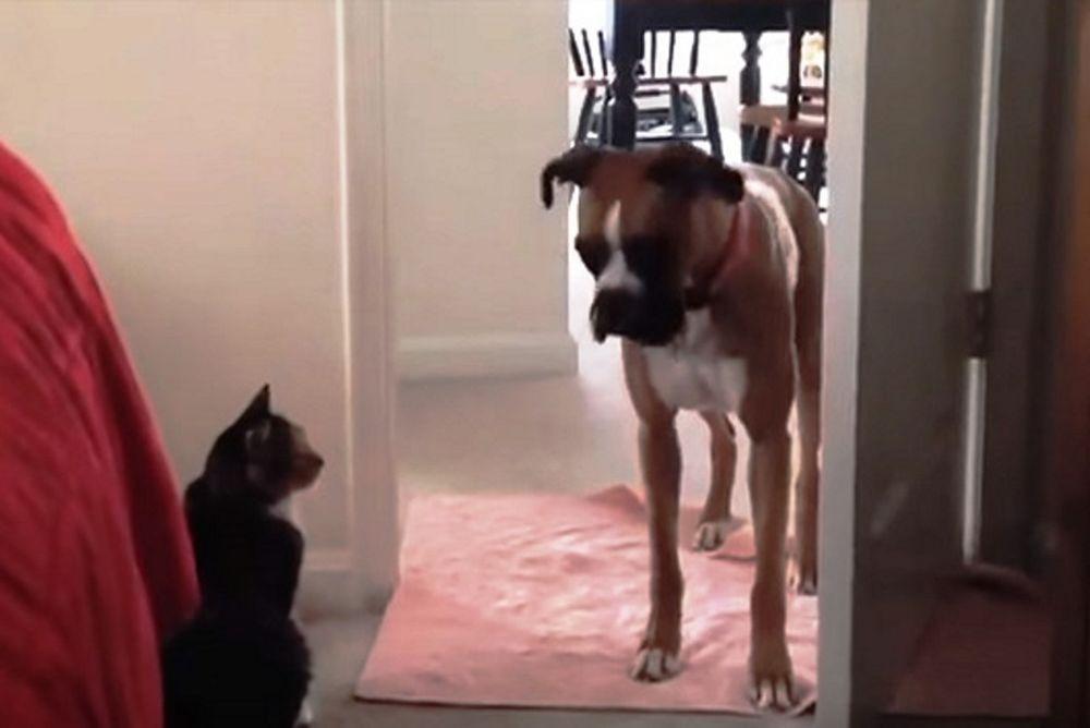 Επικοί σκύλοι φοβούνται να περάσουν μπροστά από γάτες! (video)