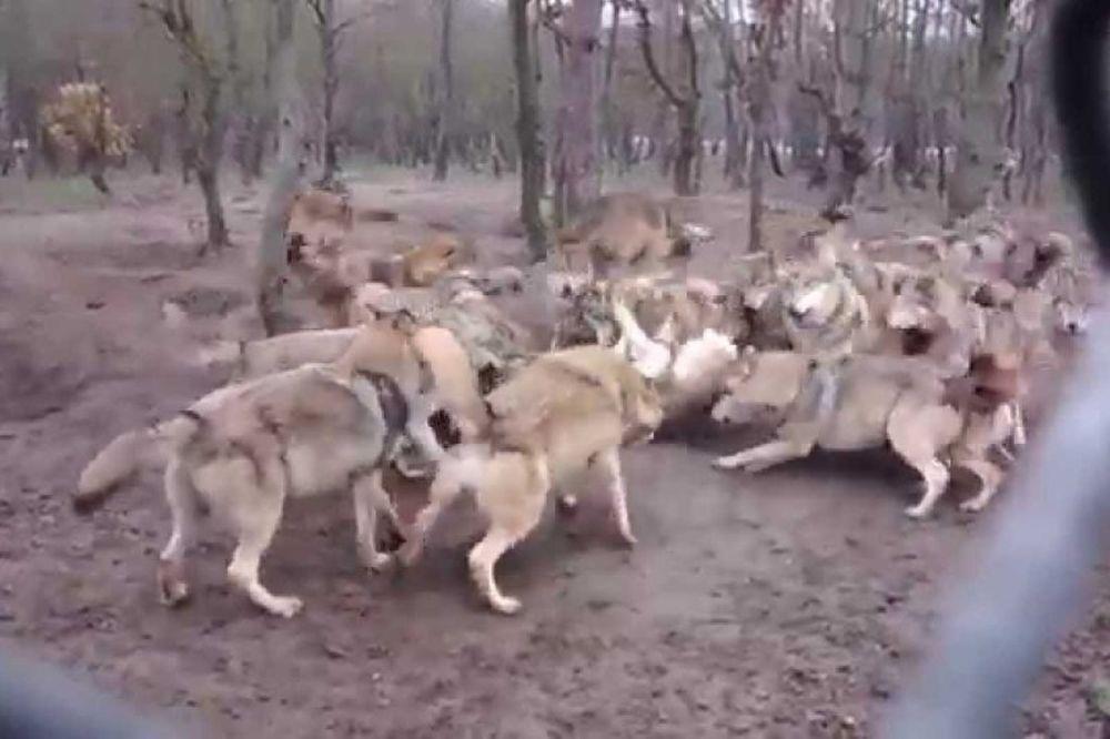 Λύκοι κάνουν επίθεση σε μοναχό… λύκο (video)
