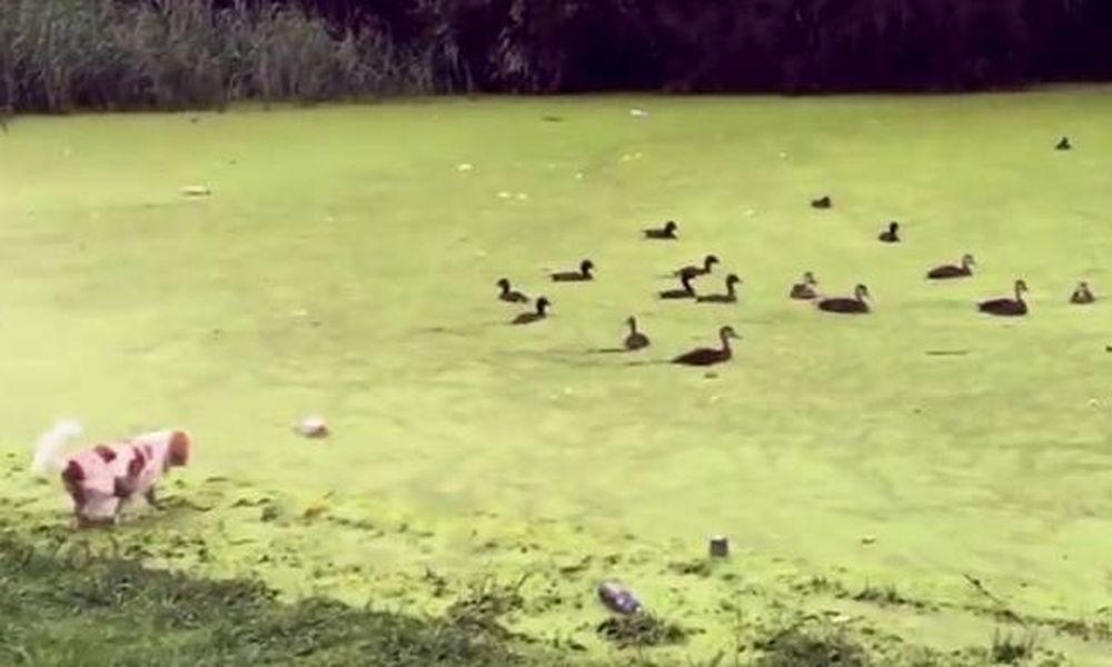 Ο σκυλάκος ήθελε να τρομάξει τις πάπιες αλλά μπέρδεψε τη λίμνη με γρασίδι! (video)