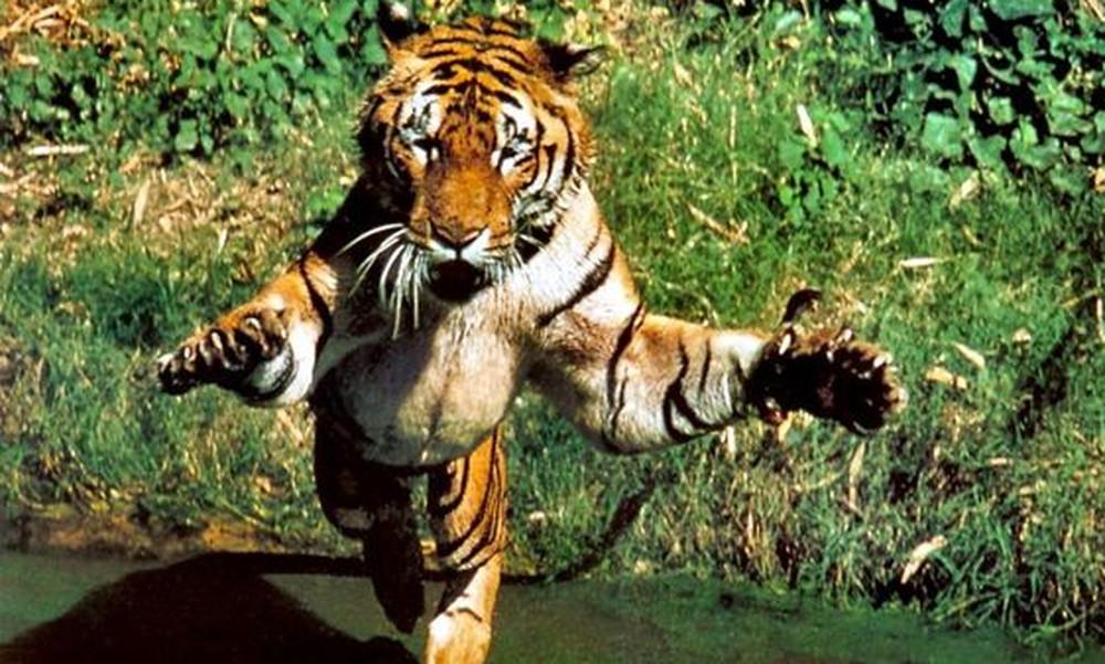 Τίγρης ορμάει σε σκύλο αλλά το αποτέλεσμα δεν θα το πιστεύεις